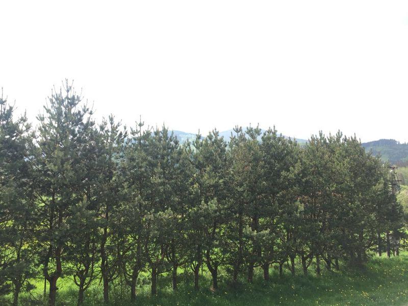 borovice_drevo_strom.jpg